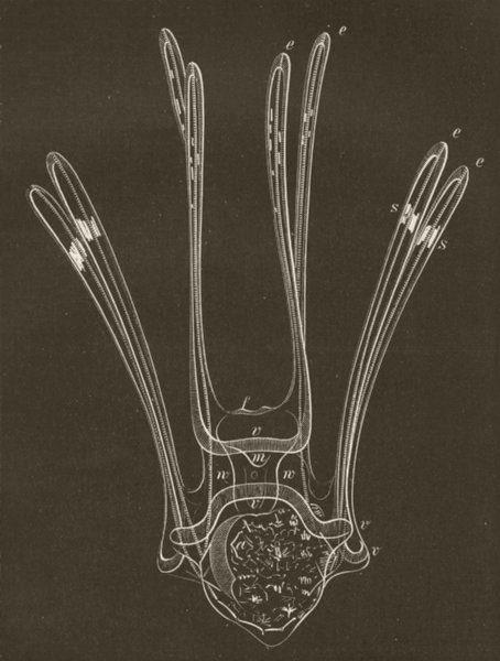 ECHINOIDEA. Development of sea-urchin  (stage 10) 1896 old antique print