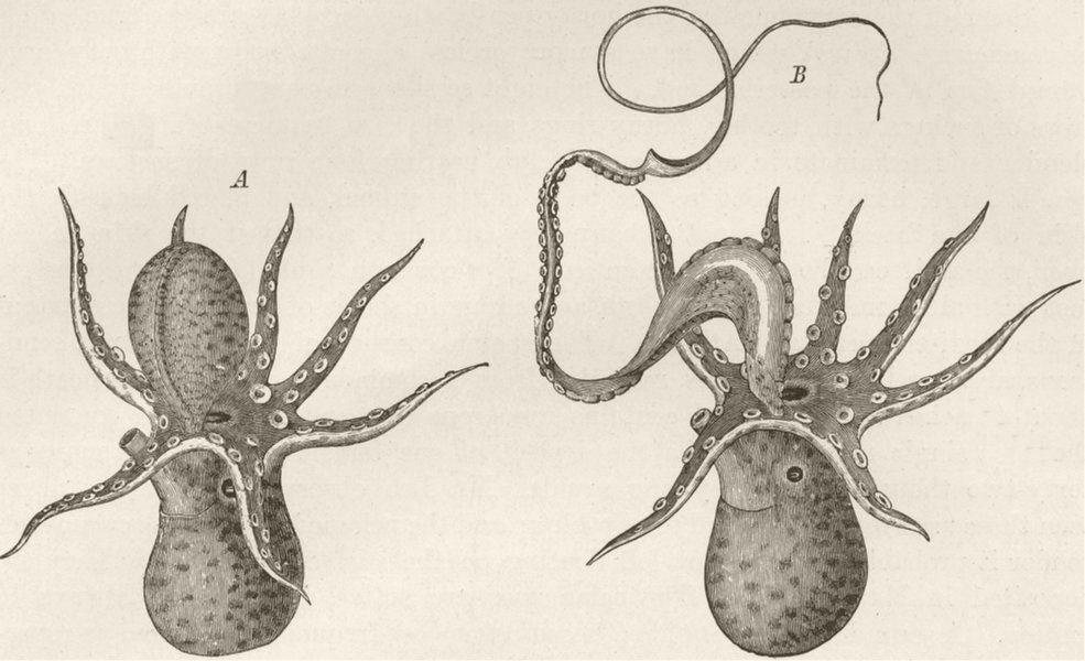 Associate Product MOLLUSCS. Male argonaut & hectocotylus 1896 old antique vintage print picture