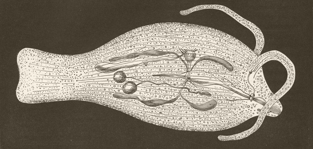 MOLLUSCS. Phyllirhoe bucephala showing internal anatomy 1896 old antique print