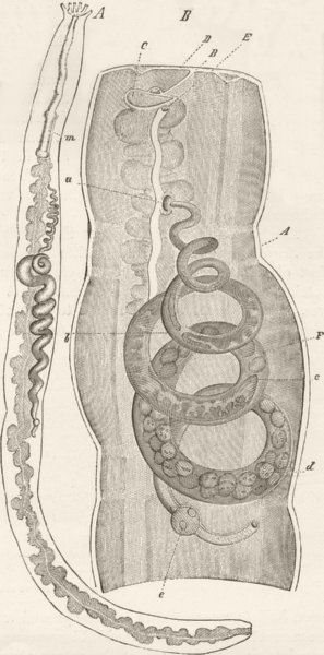 Associate Product MOLLUSCS. Synapta digitata, with parasitic Entoconcha 1896 old antique print