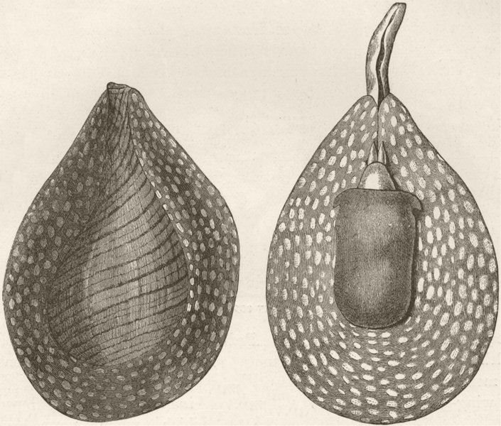 Associate Product MOLLUSCS. Fig-shell  (Pirula ventricosa) 1896 old antique print picture