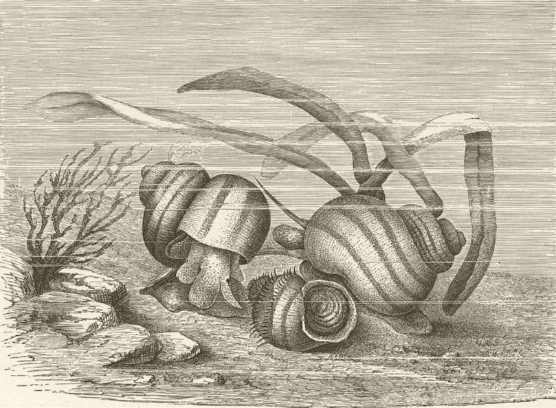 Associate Product MOLLUSCS. Viviparous pond-snails, Vivipara 1896 old antique print picture