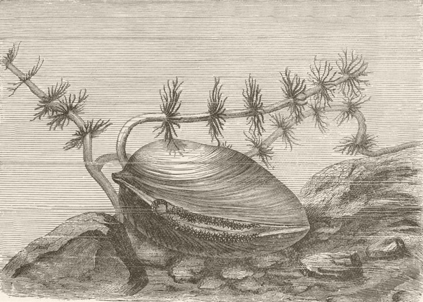 Associate Product MOLLUSCS. Large river-mussel, Anodonta cygnea 1896 old antique print picture