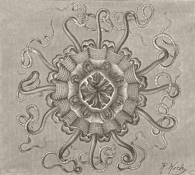 Associate Product COELENTARATA. Periphylia 1896 old antique vintage print picture
