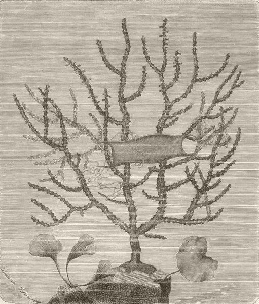Associate Product CORALS. Sea-fan (Gorgonia verrucosa); shark's egg on its branches 1896 print