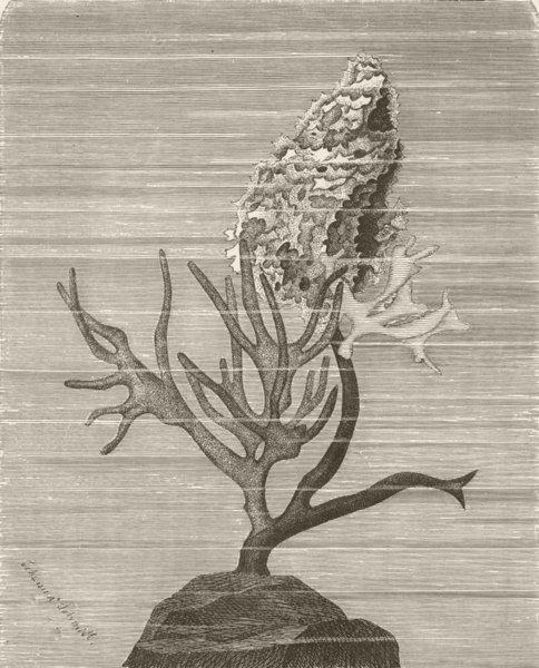 SPONGES. growing on a seaweed. Desmacidines, Spongeldia 1896 old antique print