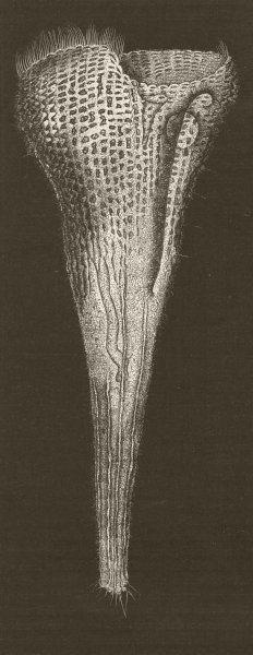 Associate Product PROTOZOA. Rosel's trumpet-animalcule, Stentor 1896 old antique print picture