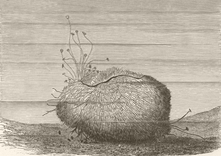 Associate Product FISH. Fiddle heart-urchin, moving over sand 1896 old antique print picture
