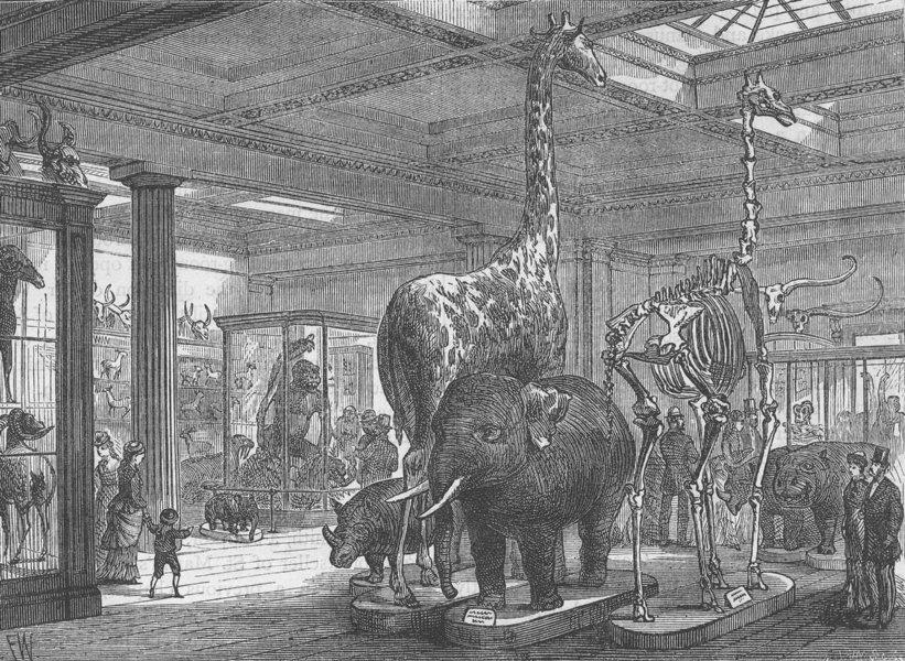THE BRITISH MUSEUM. The Mammalia saloon. London c1880 old antique print