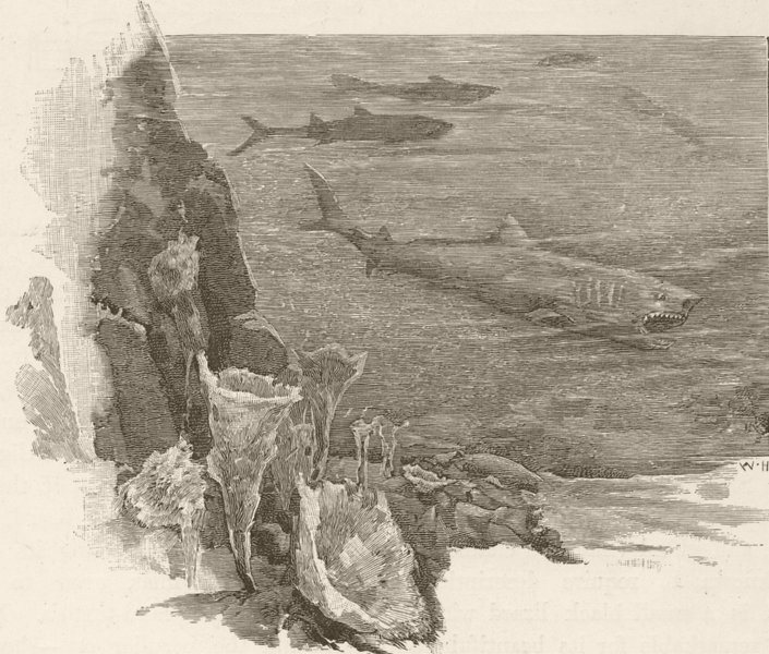 Associate Product AUSTRALIA. West. Sharks 1890 old antique vintage print picture