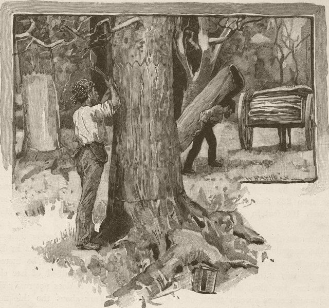 Associate Product AUSTRALIA. Gum-Tree-Neville-Rolfe. Barking-trees 1890 old antique print