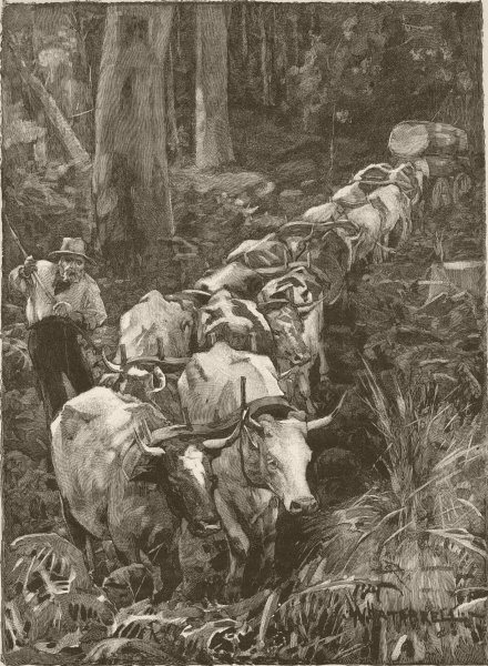 Associate Product AUSTRALIA. Bull-driver. team in bush forest 1890 old antique print picture