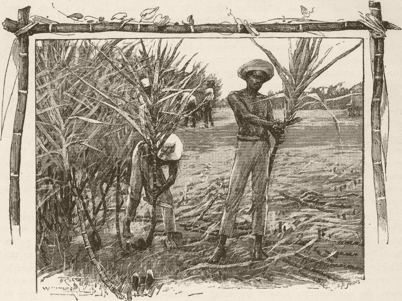 Associate Product AUSTRALIA. Queensland Sugar Industry. Cutting cane 1890 old antique print