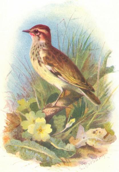 Associate Product BIRDS. Woodlark  1901 old antique vintage print picture
