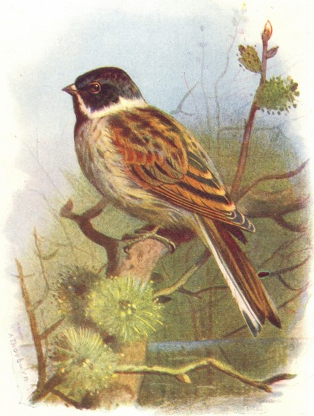Associate Product BIRDS. Black-Headed Bunting  1901 old antique vintage print picture