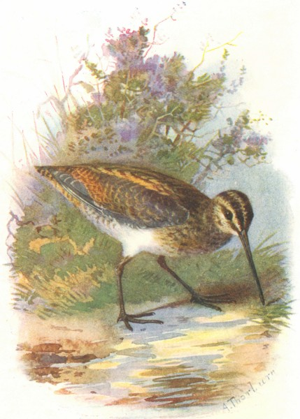 Associate Product BIRDS. Common Snipe  1901 old antique vintage print picture
