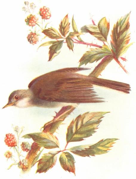 Associate Product BIRDS. Whitethroat  1901 old antique vintage print picture