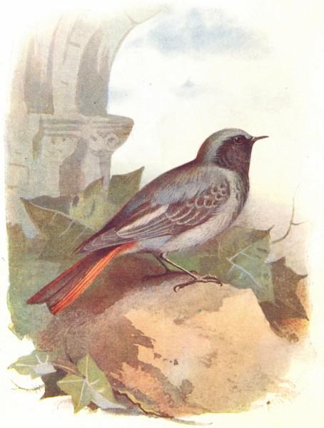 Associate Product BIRDS. Black Redstart  1901 old antique vintage print picture