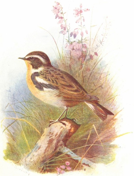 Associate Product BIRDS. Whinchat  1901 old antique vintage print picture