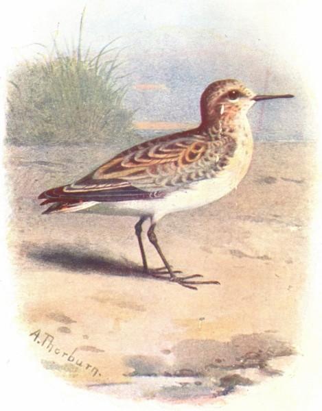 Associate Product BIRDS. Little Stint  1901 old antique vintage print picture