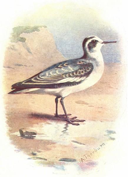 Associate Product BIRDS. Grey Phalarope  1901 old antique vintage print picture
