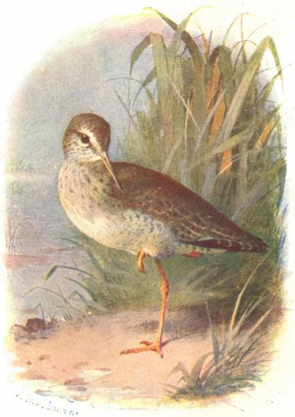 Associate Product BIRDS. Redshank  1901 old antique vintage print picture
