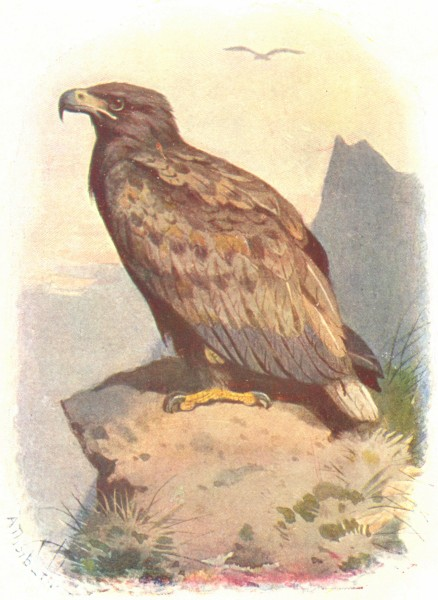 Associate Product BIRDS. White-Tailed Eagle  1901 old antique vintage print picture