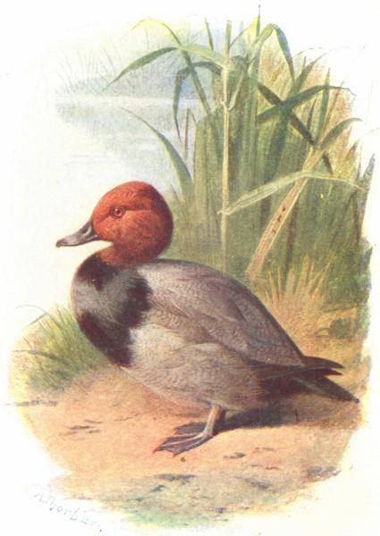 Associate Product BIRDS. Pochard  1901 old antique vintage print picture