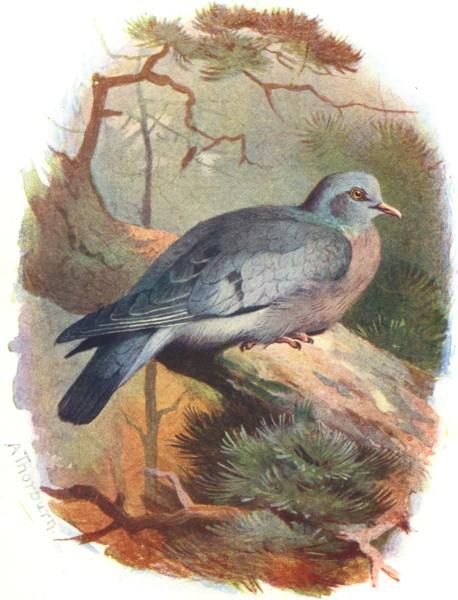 Associate Product BIRDS. Stock Dove  1901 old antique vintage print picture