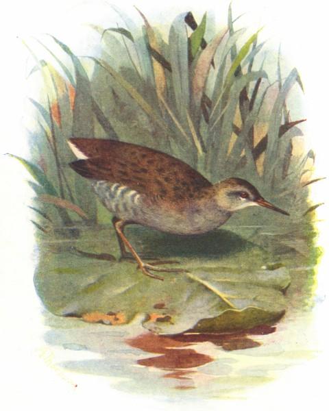 Associate Product BIRDS. Water Rail  1901 old antique vintage print picture