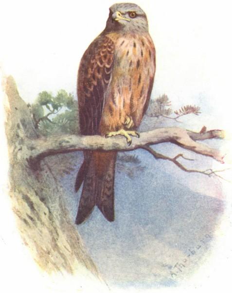 Associate Product BIRDS. Kite  1901 old antique vintage print picture