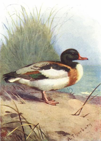 Associate Product BIRDS. Shieldrake  1901 old antique vintage print picture