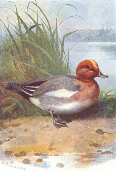 Associate Product BIRDS. Wigeon  1901 old antique vintage print picture