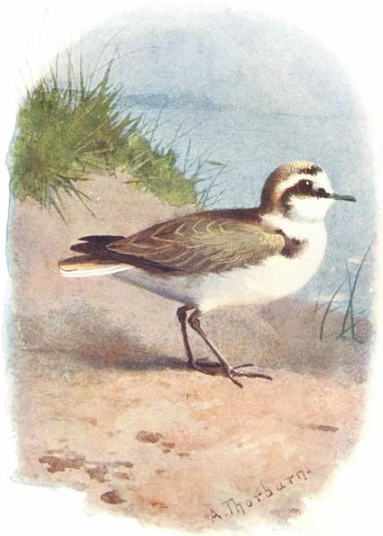 BIRDS. Kentish Plover  1901 old antique vintage print picture