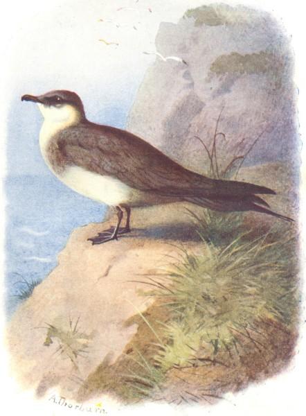 Associate Product BIRDS. Richardson's Skua  1901 old antique vintage print picture