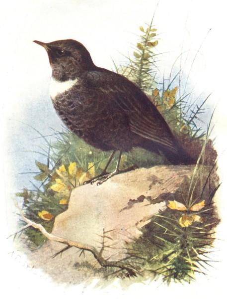 Associate Product BIRDS. Ring Ouzel  1901 old antique vintage print picture