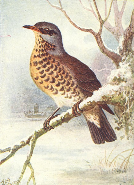 Associate Product BIRDS. Fieldfare  1901 old antique vintage print picture