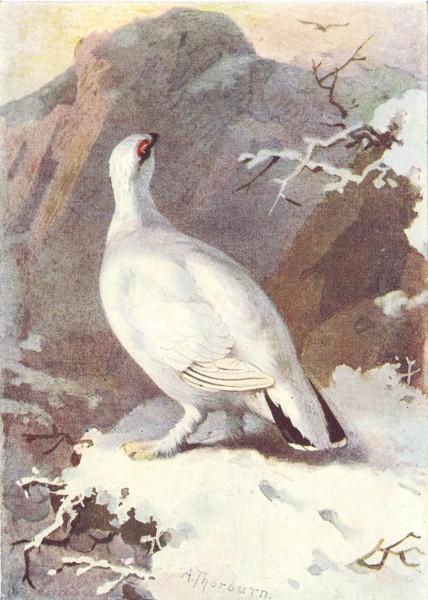 Associate Product BIRDS. Ptarmigan  1901 old antique vintage print picture