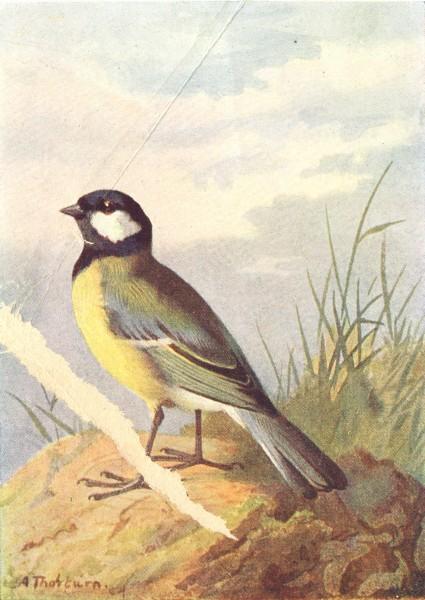 Associate Product BIRDS. Great Tit  1901 old antique vintage print picture