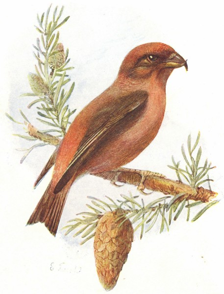 Associate Product BIRDS. Crossbill  1901 old antique vintage print picture