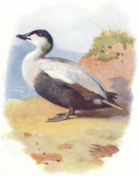 Associate Product BIRDS. Eider Duck  1901 old antique vintage print picture