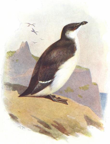 Associate Product BIRDS. Razor Bill  1901 old antique vintage print picture