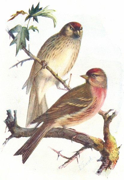 Associate Product BIRDS. Redpoll. Redpolls(Male & Female)(7 8) 1901 old antique print picture