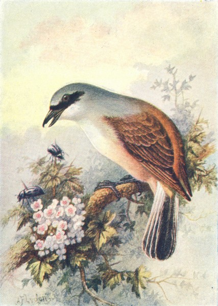 Associate Product BIRDS. Red-Backed Shrike  1901 old antique vintage print picture