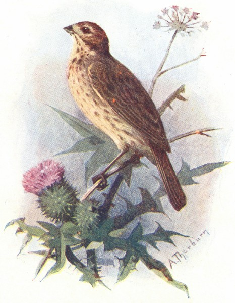 BIRDS. Common Bunting  1901 old antique vintage print picture