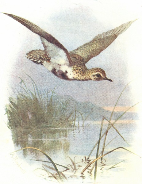 Associate Product BIRDS. Golden Plover  1901 antique vintage print picture