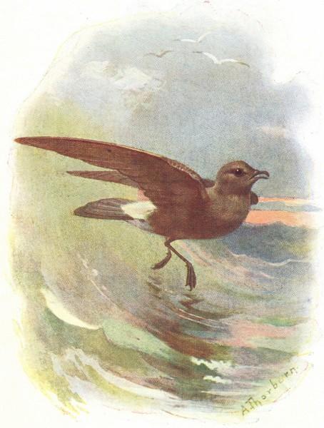 Associate Product BIRDS. Storm Petrel  1901 old antique vintage print picture