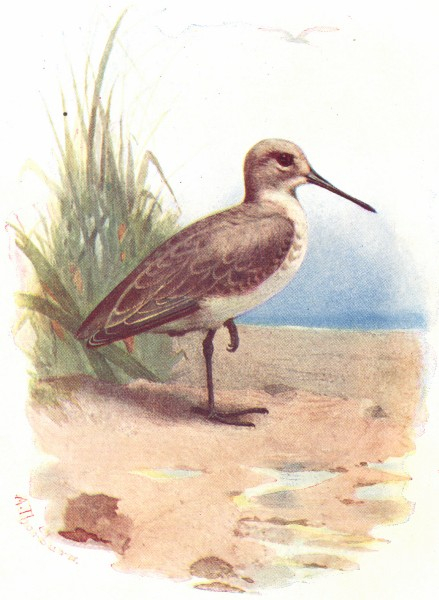 Associate Product BIRDS. Dunlin  1901 old antique vintage print picture