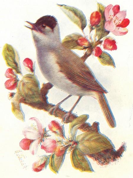 Associate Product BIRDS. Blackcap  1901 old antique vintage print picture