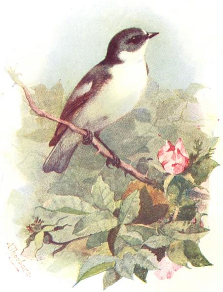 Associate Product BIRDS. Pied Flycatcher  1901 old antique vintage print picture